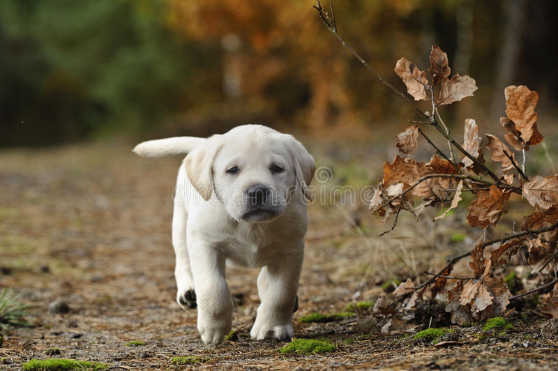 retriever щенка labrador стоковая фотография rf