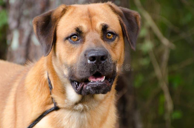 Retriever Chow Mastiff mixed breed dog. Walton County Animal Control, humane society adoption photo, outdoor pet photography stock image