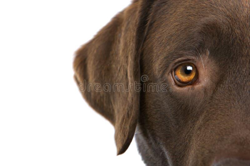 Retriever de Brown Labrador imagem de stock