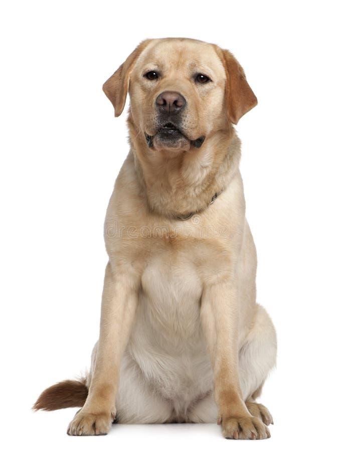 Retriever de Labrador, 2 anos velho, sentando-se fotografia de stock royalty free