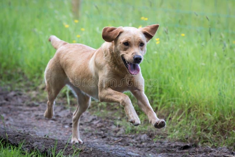 Retriever de Labrador foto de stock