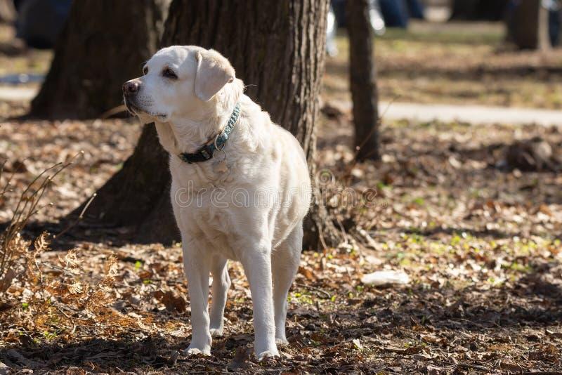 Retriever de Labrador amarelo fotos de stock royalty free