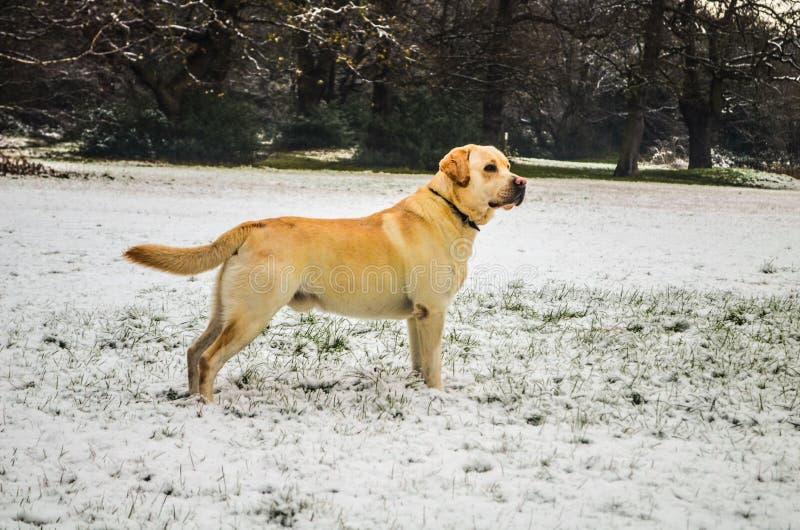 Retriever de Labrador bonito foto de stock royalty free