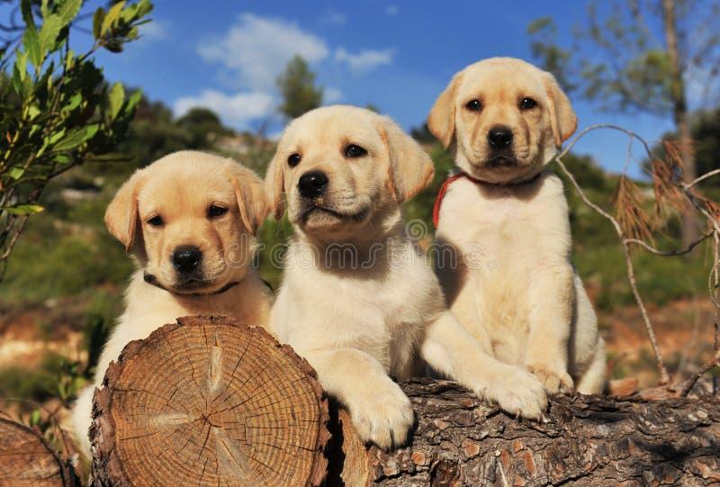 Retriever de Labrador dos filhotes de cachorro fotos de stock royalty free