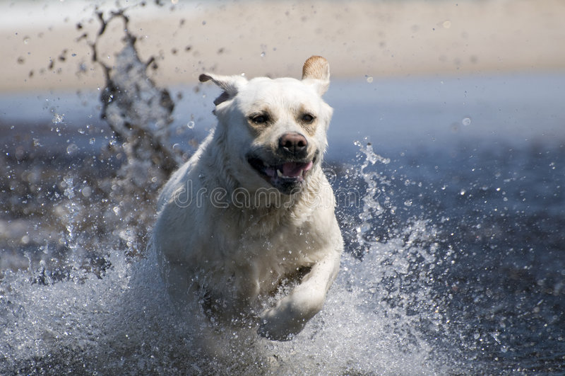 Retriever de Labrador na ação fotos de stock royalty free