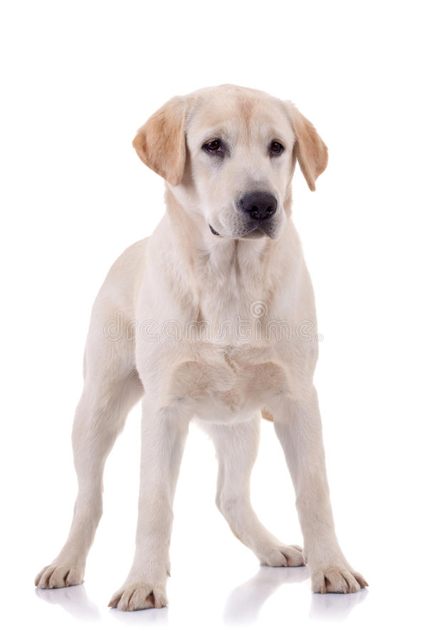 Download Retriever De Labrador Novo Louro Foto de Stock - Imagem de cute, expressão: 16865684