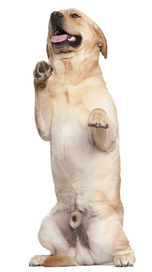 Retriever de Labrador que está nos pés traseiros fotos de stock royalty free