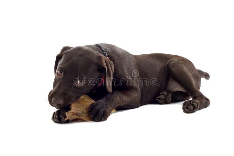 Retriever de Labrador que mastiga o brinquedo foto de stock royalty free