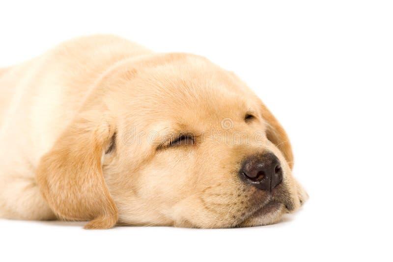 Retriever de Labrador sonolento do filhote de cachorro imagens de stock