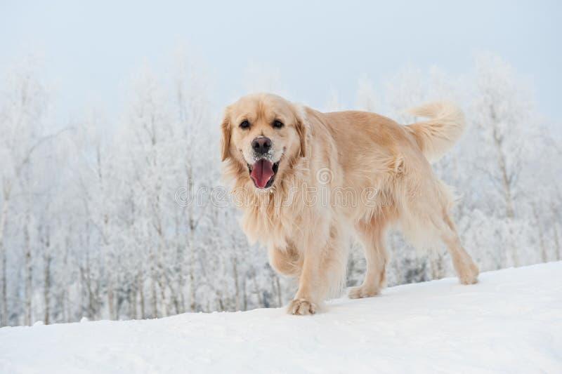 Retriever die in de sneeuw loopt stock foto's