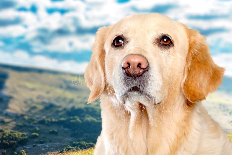 Retriever dog look for you stock image