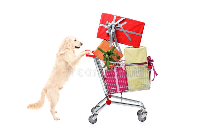Retriever dog pushing a shopping cart full of wrapped presents. Isolated on white background royalty free stock photography