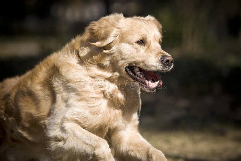 Retriever dourado fotografia de stock royalty free