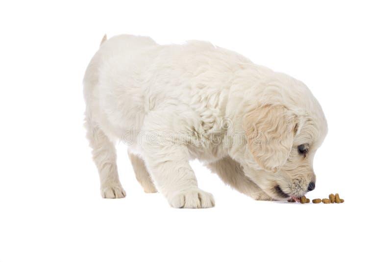 Retriever dourado do filhote de cachorro imagem de stock