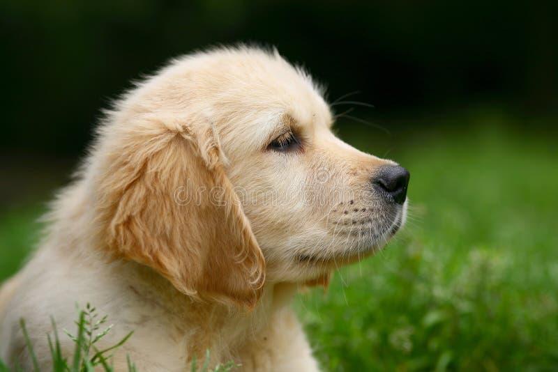 Retriever dourado do filhote de cachorro. imagem de stock