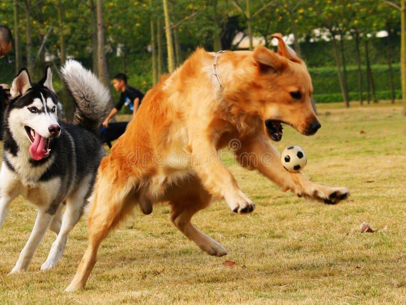 Retriever dourado e cão de puxar trenós imagem de stock