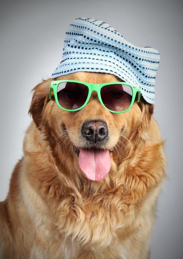 Retriever dourado no tampão e nos óculos de sol imagens de stock royalty free