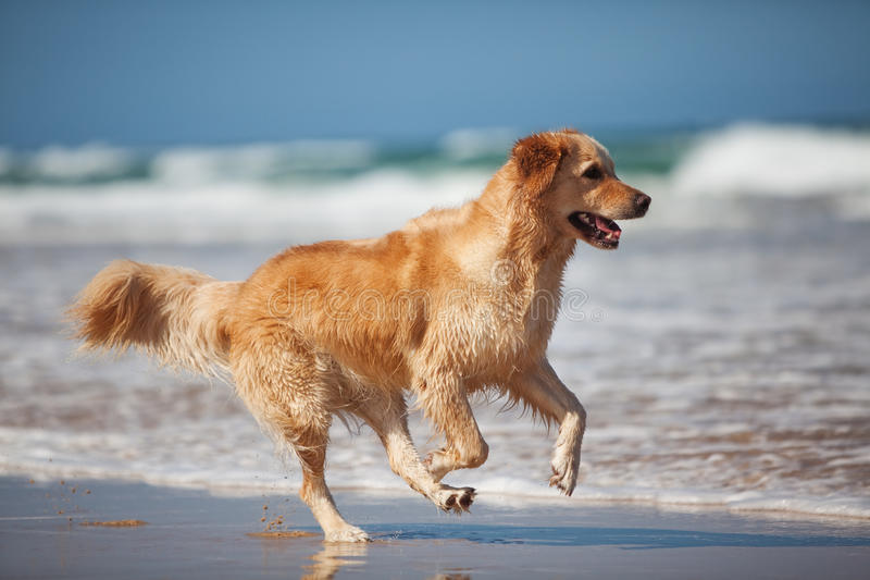 Retriever dourado novo que funciona na praia imagem de stock