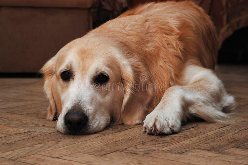 Retriever dourado triste que encontra-se no assoalho foto de stock royalty free