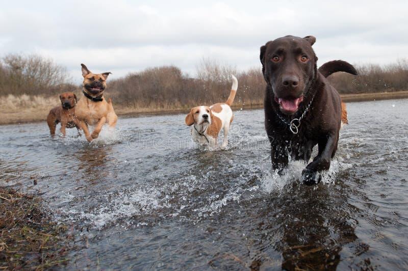 Retriever e amigos de Labrador fotografia de stock