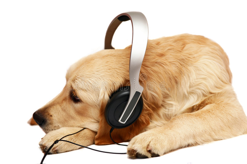 Retriever with ear-phones. stock images