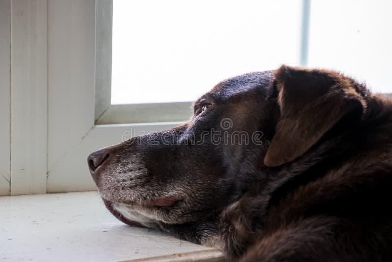 Retriever labrador шоколада ослабляющ и использующ windowsill залива как подушка стоковые изображения rf
