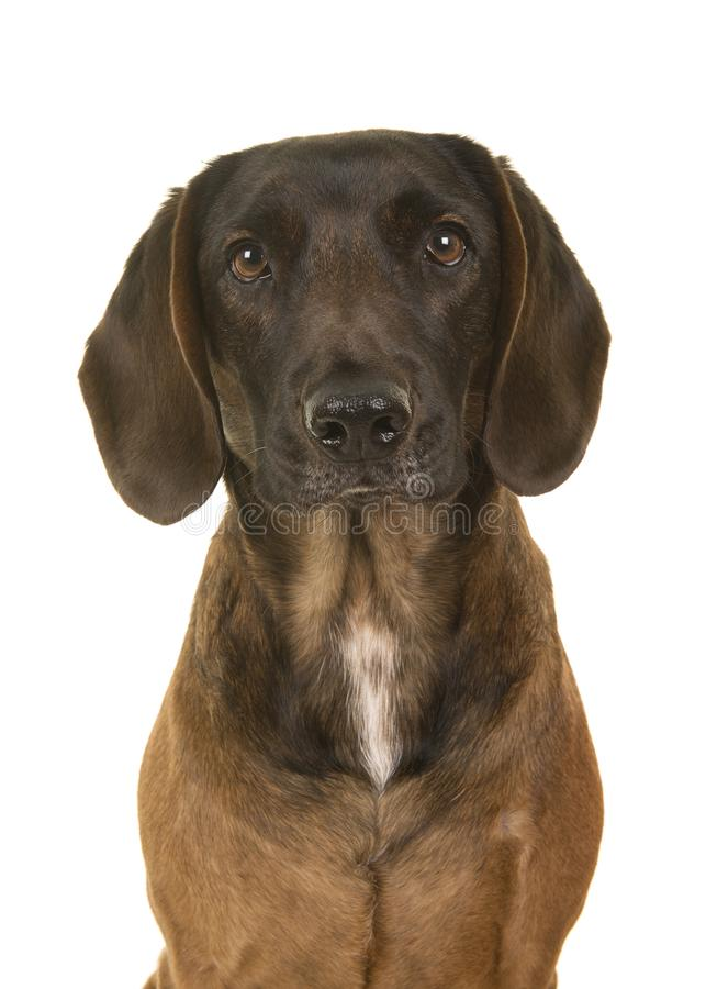 Retriever mixed breed dog portrait looking at the camera on a white background. Mongrel mixed breed dog portrait looking at the camera on a white background stock photography