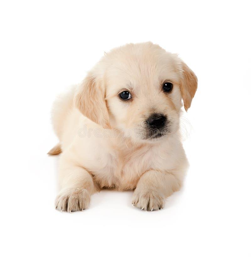 Retriever puppy royalty free stock photography