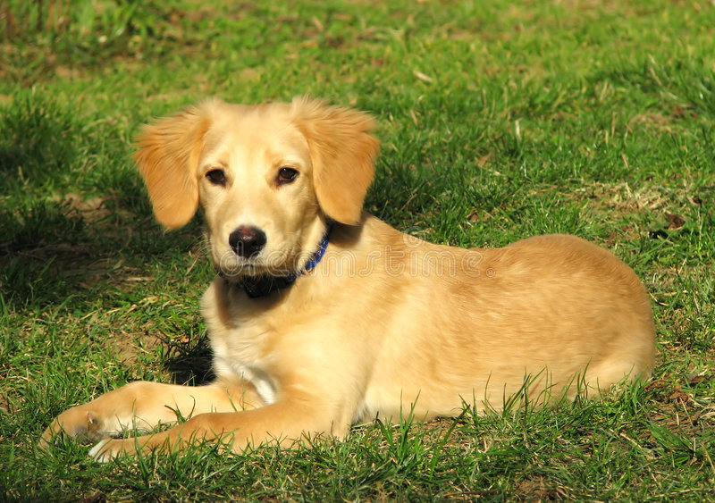 Download Retriever puppy stock photo. Image of color, funny, background - 4382830