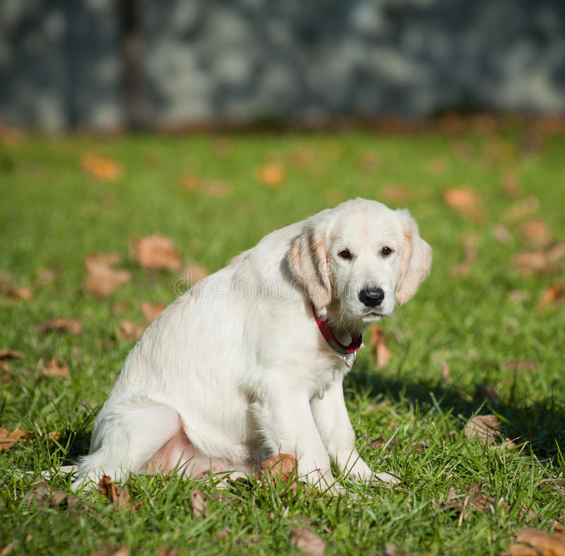 Download Retriever puppy stock image. Image of pedigree, background - 40464463