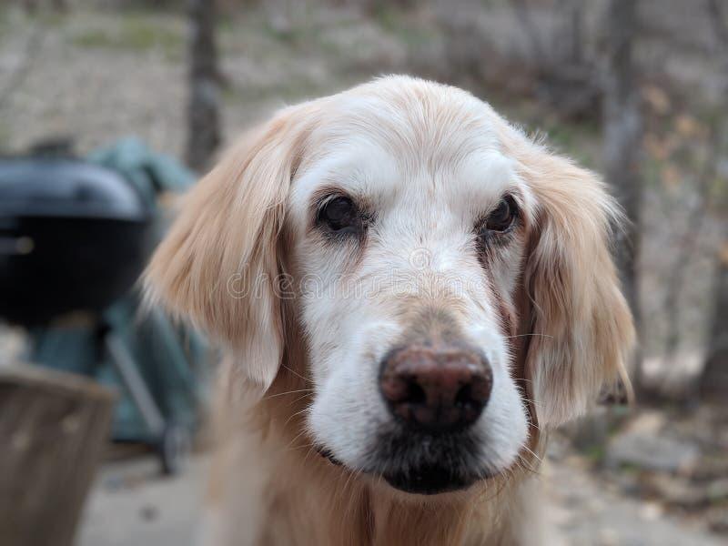 Σκυλί, φυλή σκυλιών, χρυσό Retriever, Retriever στοκ φωτογραφία με δικαίωμα ελεύθερης χρήσης