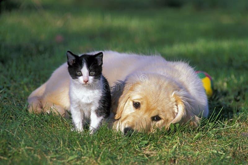 Retriever-Welpe und Kätzchen stockbilder