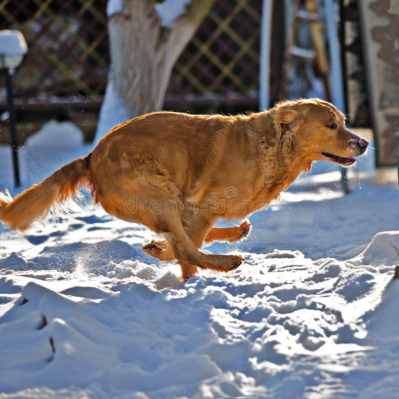 Retrieverhundebetrieb lizenzfreies stockbild