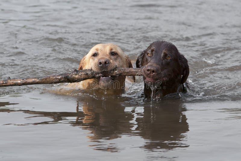 retrievers labrador chcolate плавая желтый цвет стоковое фото rf