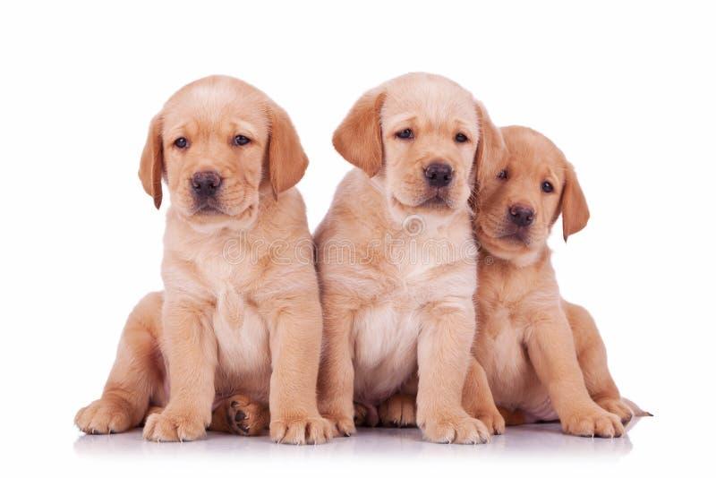 Retrievervalpen för tre labrador förföljer sammanträde royaltyfria bilder