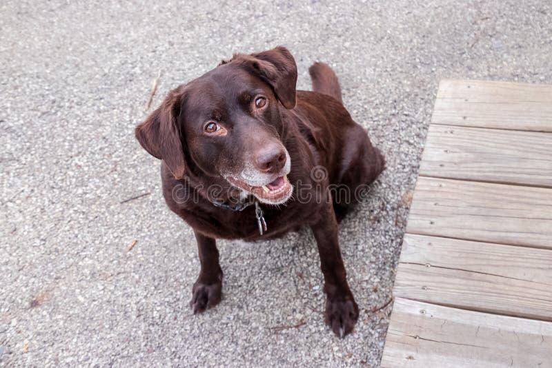 Retriver de Labrador do chocolate que sorri com alegria foto de stock royalty free