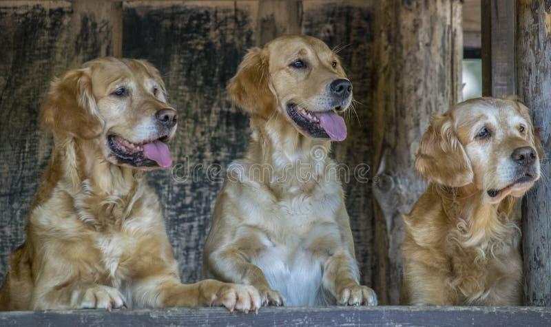 3 Retrivers d'or mignon photo stock