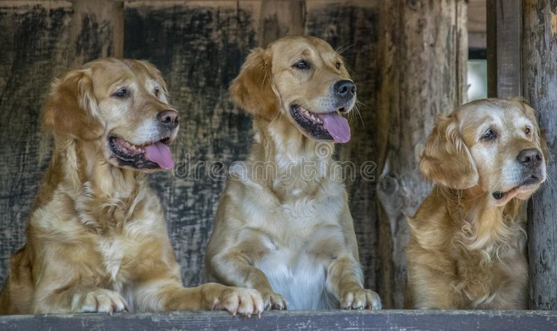 3 Retrivers de oro lindo foto de archivo