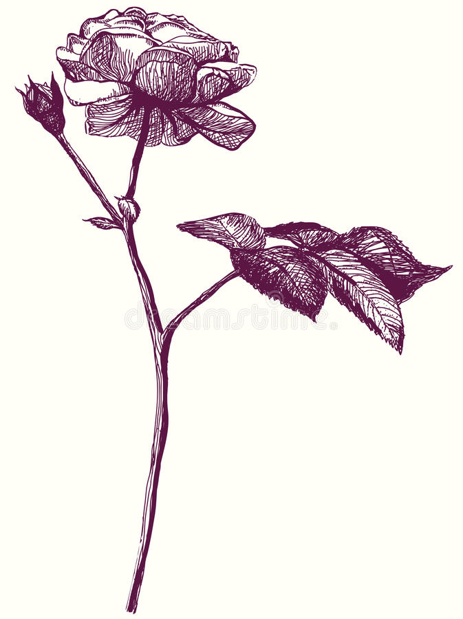 Retro abbozzo di rosa del fiore. Illustrazione della mano illustrazione vettoriale