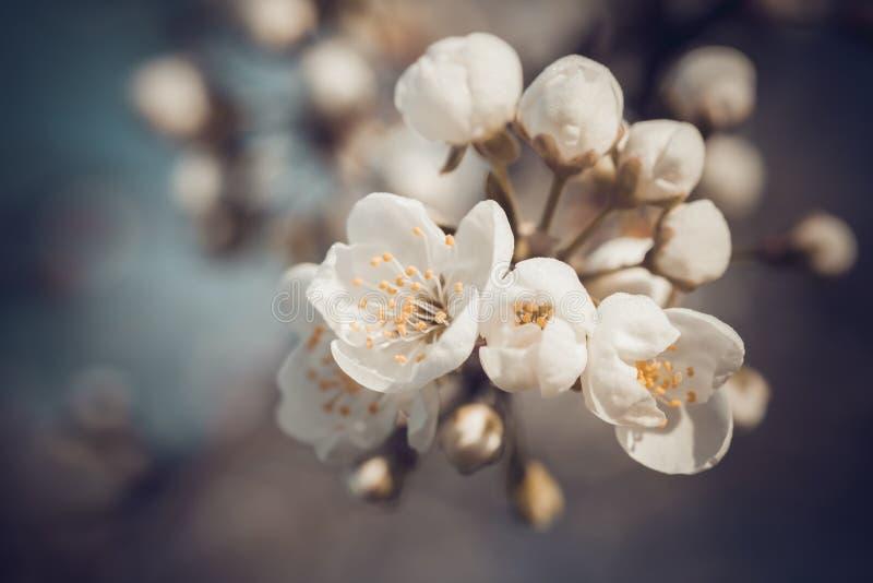 Retro- angeredetes Foto des Zweigs der Frühlingsbaumblüte stockfotos
