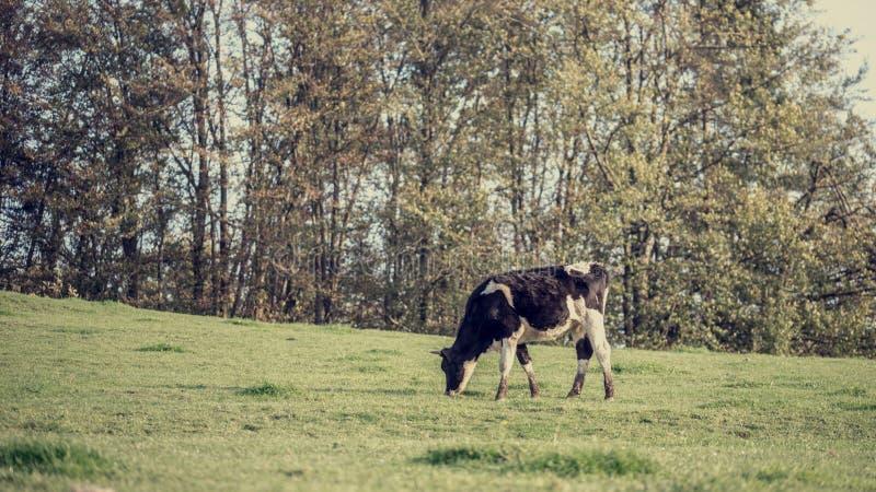 Retro- Bild der Schwarzweiss-Milchkuh, die Gräser isst stockfotos