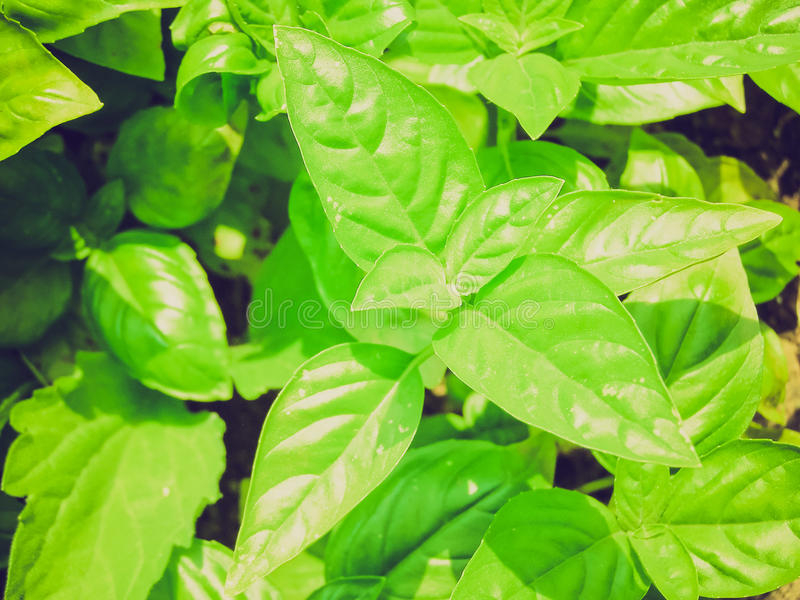 Retro- Blick Basilikum stockfotos