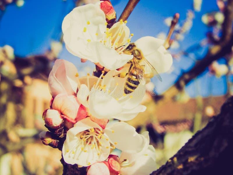 Retro- Blick Biene, die Nektar von der Blume holt stockbild
