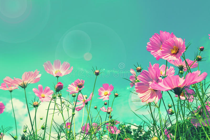 Retro cosmos flower fields background.  royalty free stock image