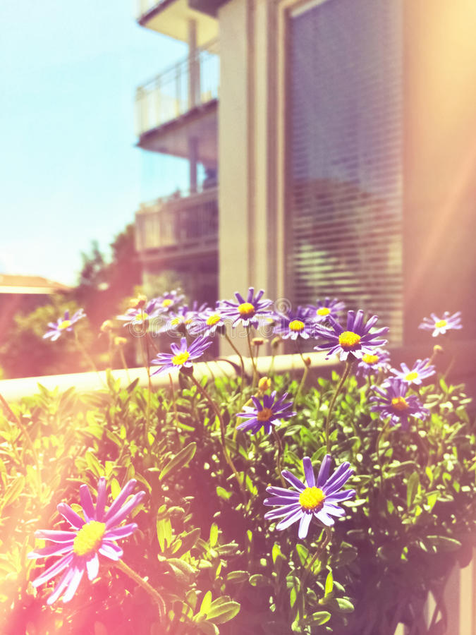 Retro image of daises blooming on a balcony royalty free stock images