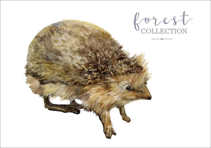 Retro immagine disegnata a mano dell'istrice della foresta dell'acquerello fotografia stock