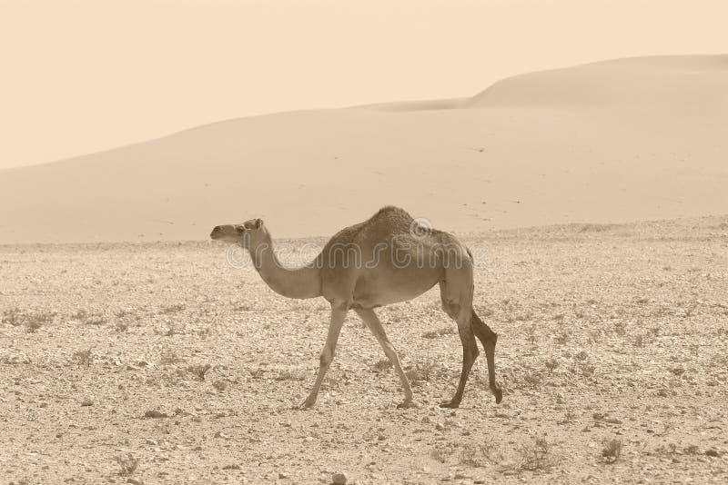 Retro kameel stock foto