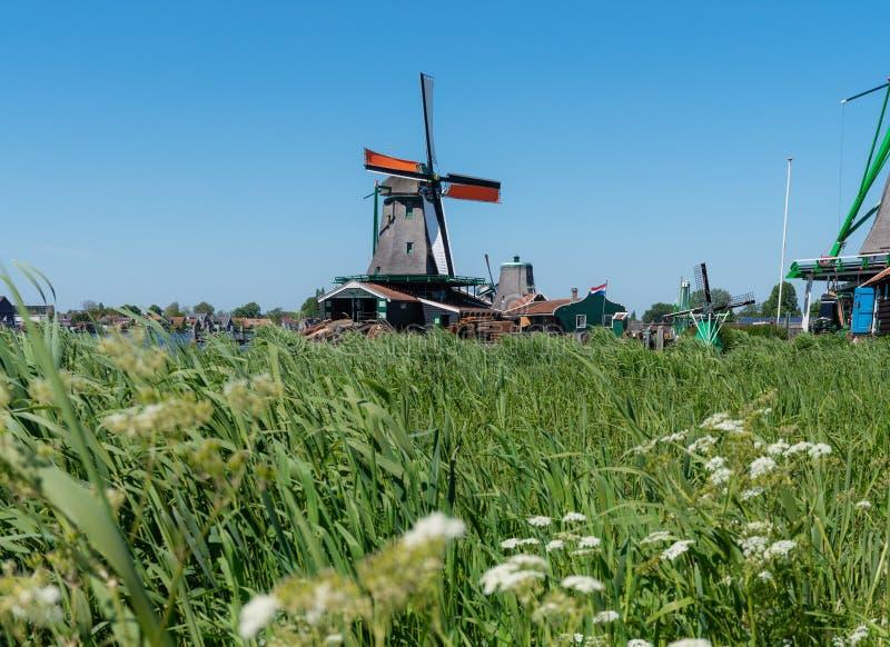 Retro mulino a vento con erba verde ed i fiori bianchi di estate, punto di riferimento famoso e destinazione di viaggio in Zaanse immagini stock libere da diritti