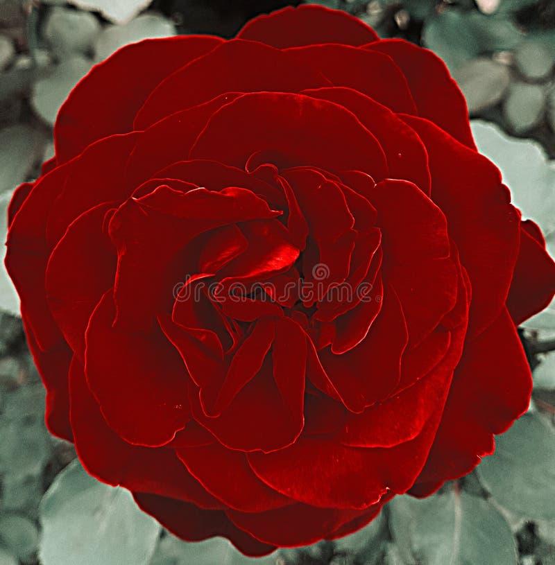 Retro rose stock image