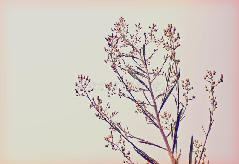 Retro stil för Waysidegräs (purpurfärgat muttergräs) arkivbilder